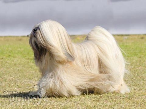 tibetan-terrier