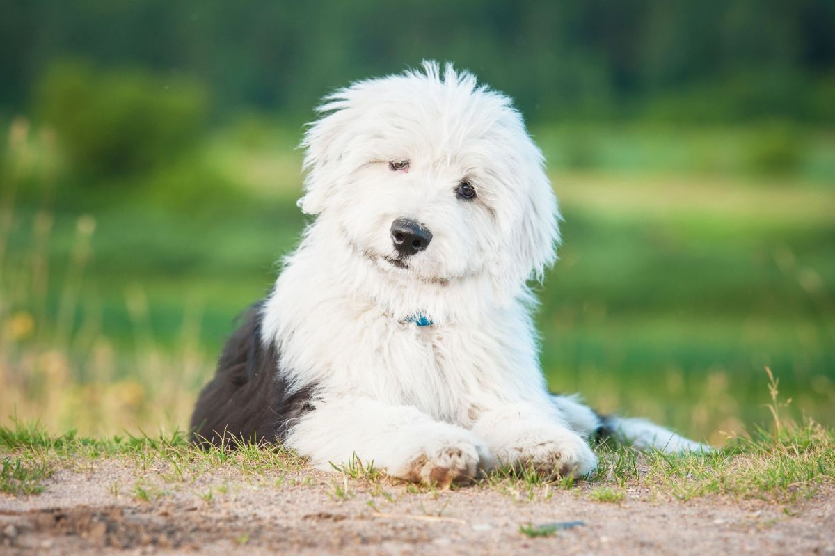 Old English Sheepdog Breed Dog Breed Information Amp Pictures