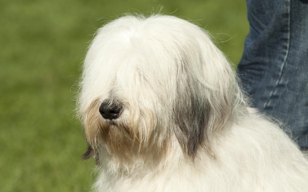 polish hound white picture