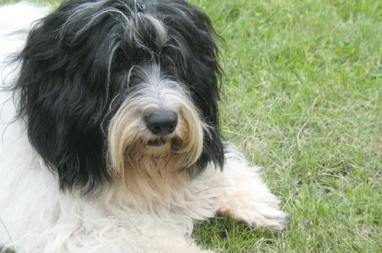 polish hound black and white with black marking picture