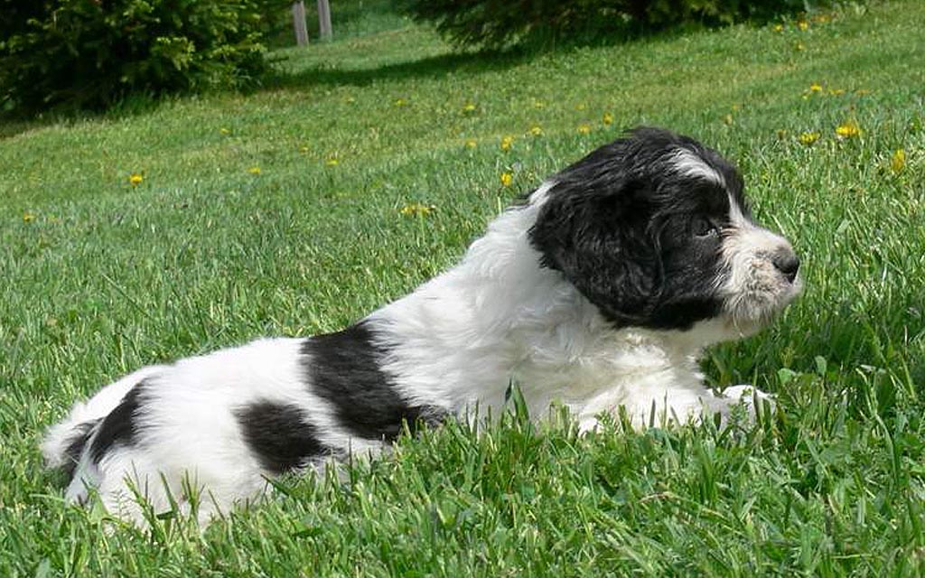 polish hound white with black marking picture