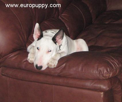 Pisti - Bull Terrier Puppy - Saskatoon, 112