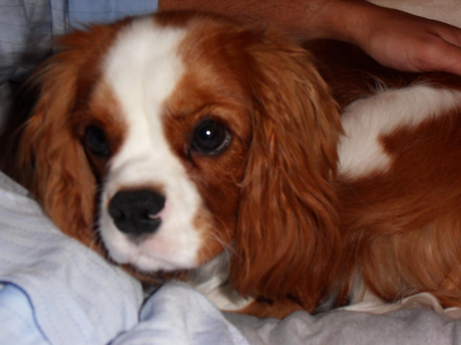 Roxie Cavalier King Charles Spaniel Puppy Dubai 103