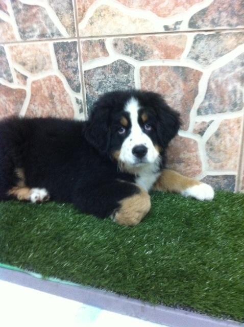 Cooper Bernese Mountain Dog Puppy Miami 108