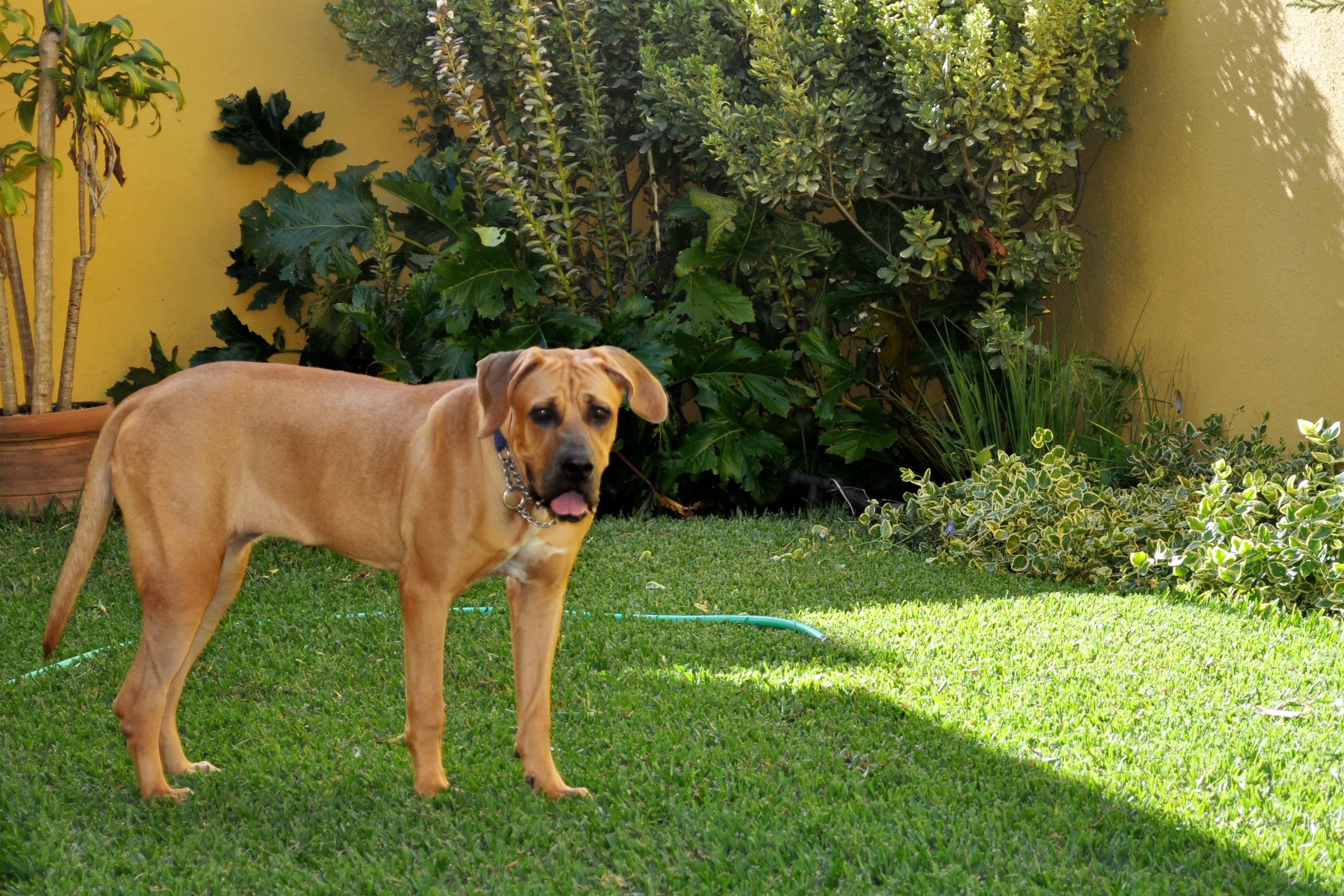 kensha - tosa inu puppy
