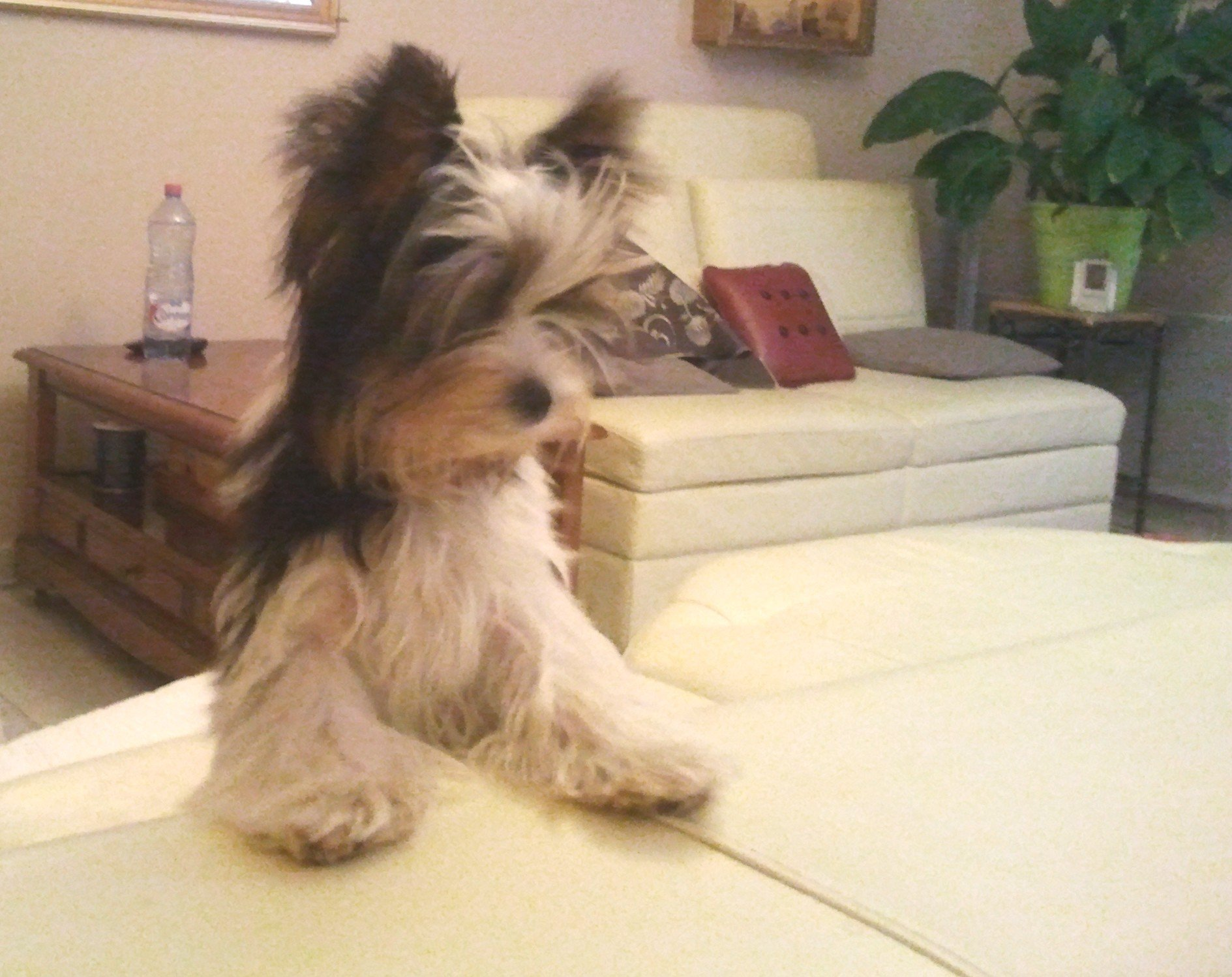 Tiffany biewer yorkie puppy dommartin l s toul 92 - But dommartin les toul ...