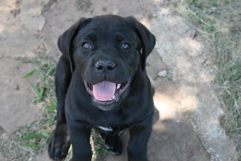 Sniper Cane Corso Puppy Oklahoma 108