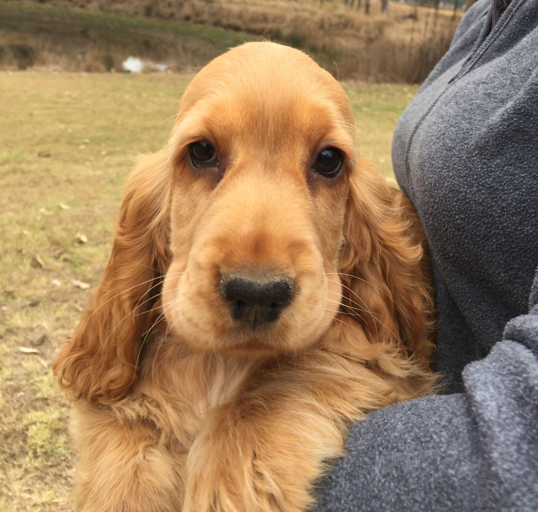 English Cocker Spaniel Dog Breed Info