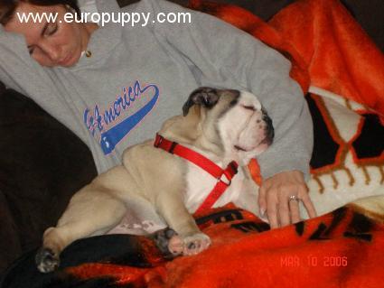 Choopy - Bulldog Puppy - Calgary, 112 Old English Sheepdog Kent