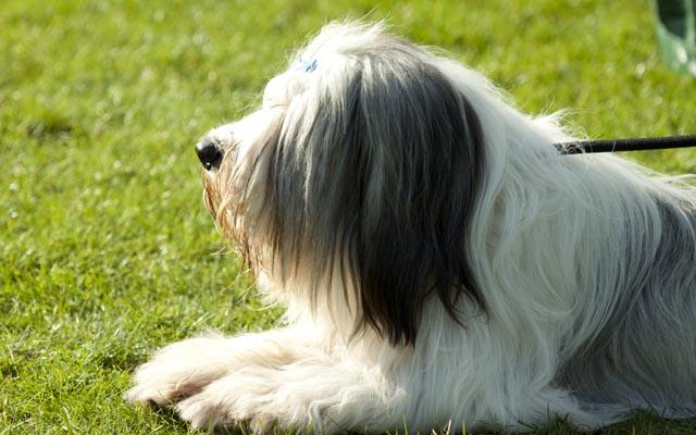 polish hound white