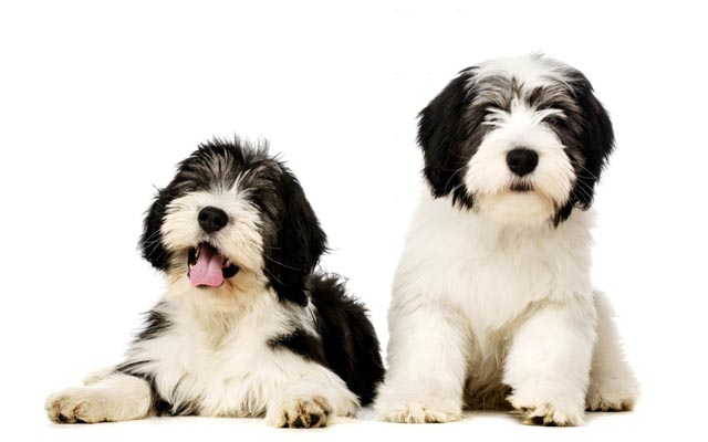 polish hound white with black marking puppies