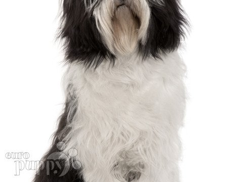 polish hound white with black marking