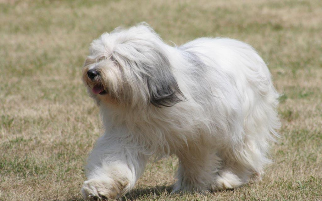 polish hound white image