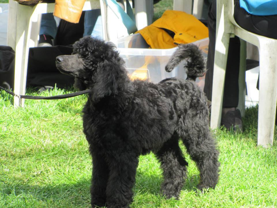 Dorian Standard Poodle Puppy For Sale Euro Puppy