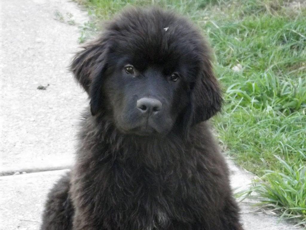 Caucasian Shepherd For Sale >> Felicia - Newfoundland Puppy for sale | Euro Puppy