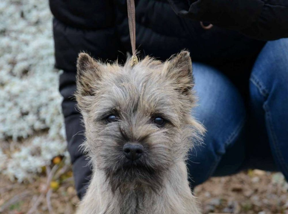 Cairn Terrier Winner National Dog Show