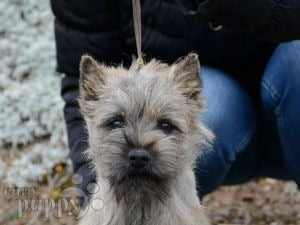 Cairn Terrier For Sale | Cairn Terrier Puppies