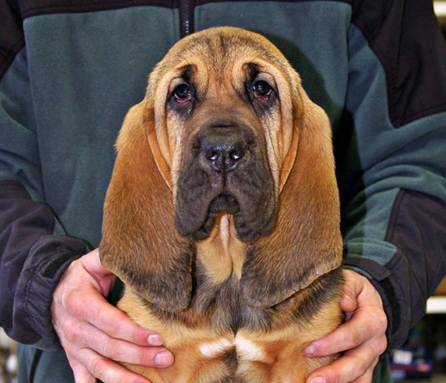 Buy Bloodhound Golden Puppies in Oklahoma USA