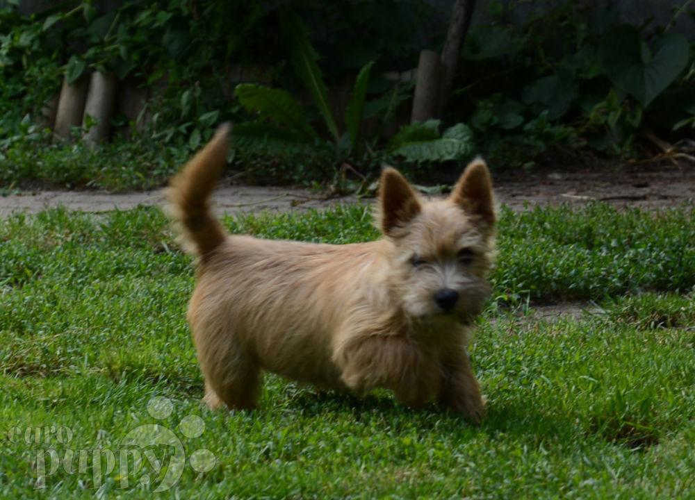 Bobbi - Norwich Terrier Puppy for sale | Euro Puppy