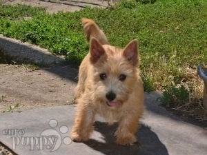 Norwich Terrier For Sale | Norwich Terrier Puppies