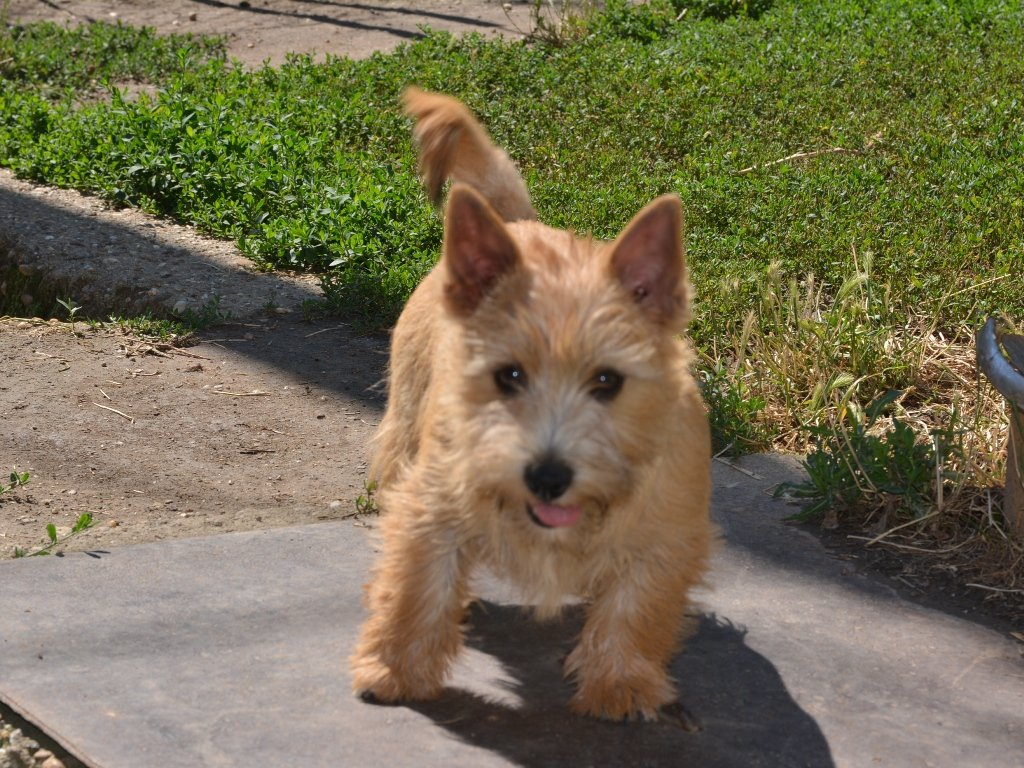 Bobbi - Norwich Terrier Puppy for sale | Euro Puppy