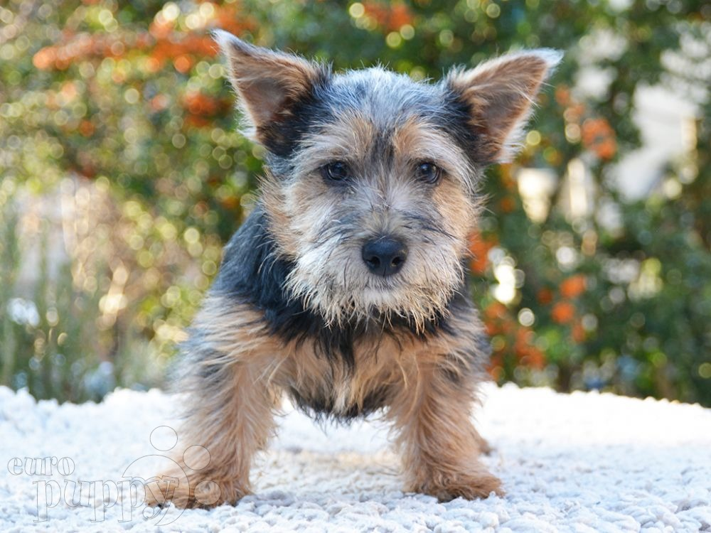 Franky - Norwich Terrier Puppy for sale | Euro Puppy