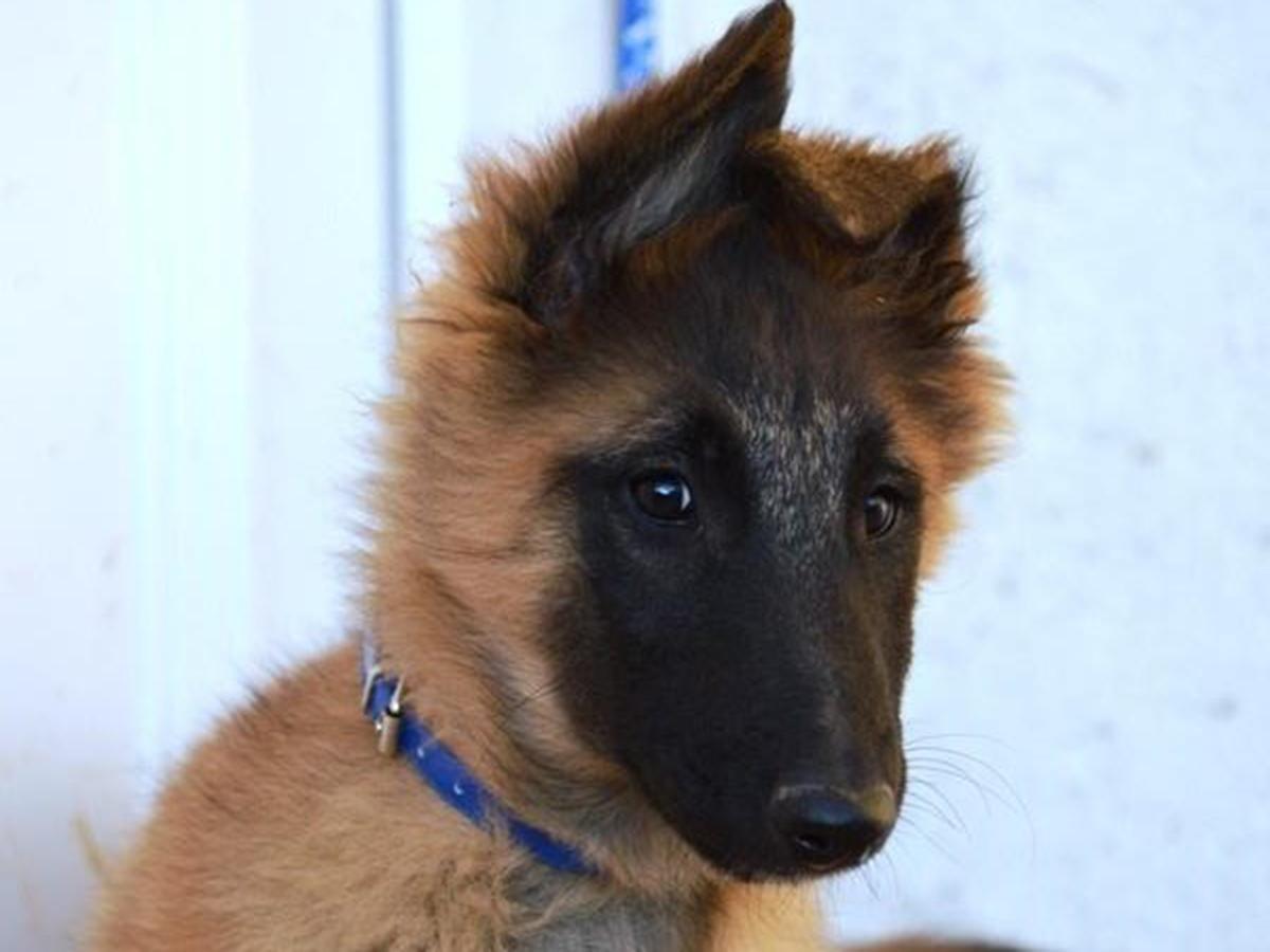 Alysson Sterling alysson - belgian tervuren puppy for sale   euro puppy