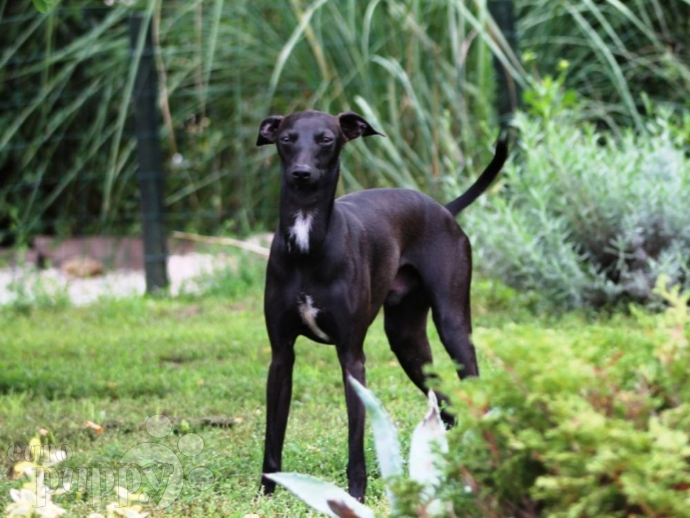 Bipsy - Italian Greyhound Puppy for sale | Euro Puppy