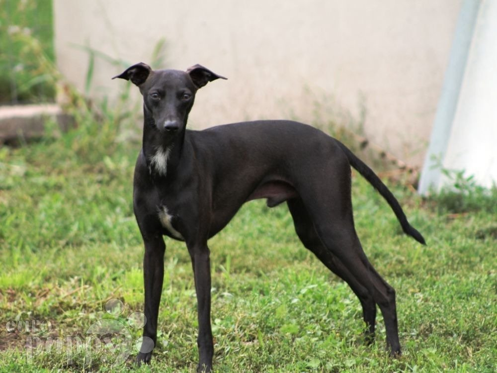 italian greyhound puppies for sale