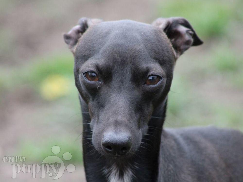 Bipsy - Italian Greyhound Puppy for sale   Euro Puppy