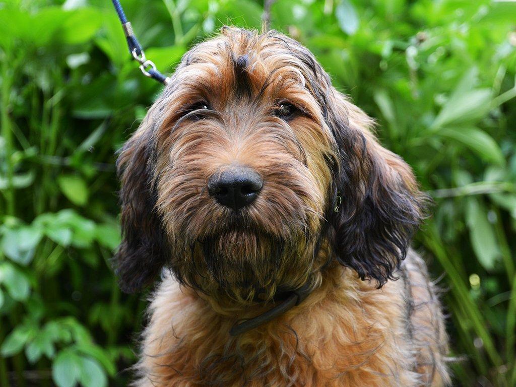 Cliff Briard Puppy For Sale Euro Puppy