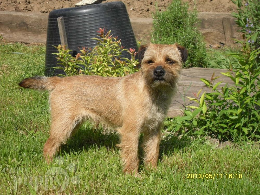 border terrier for sale brownie border terrier puppy for sale euro puppy 1790
