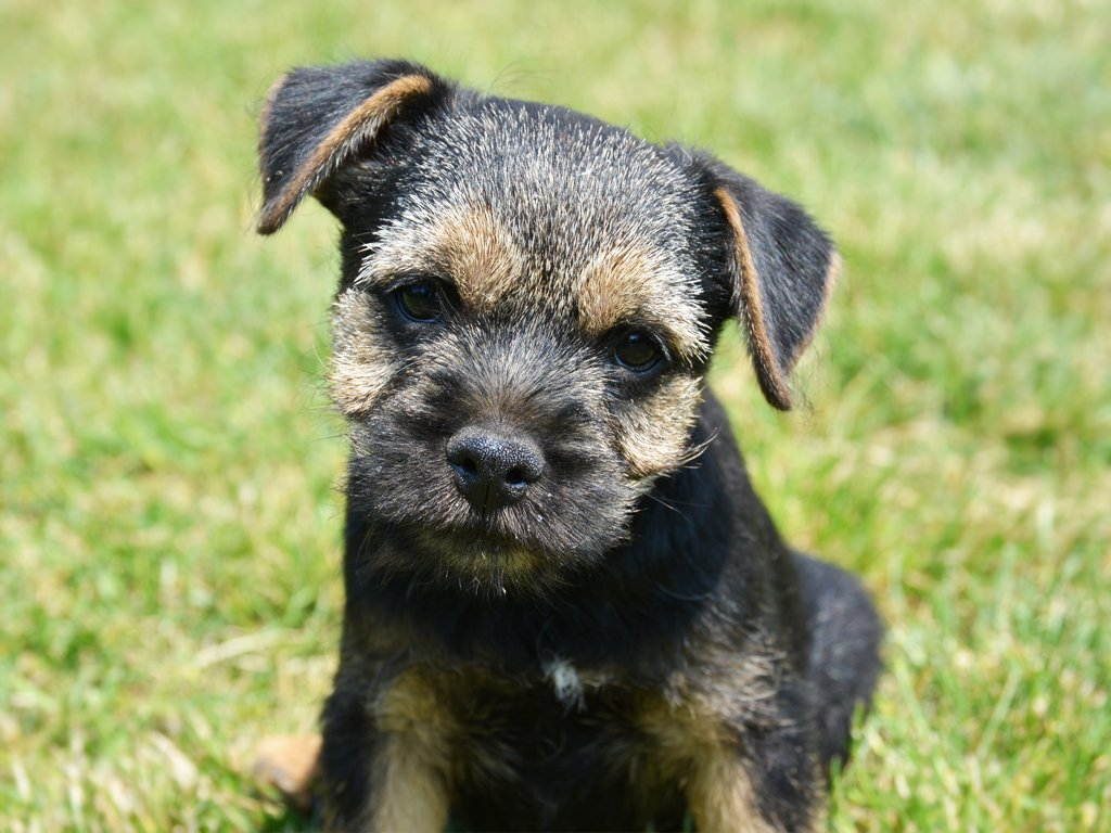 border terrier for sale ken border terrier puppy for sale euro puppy 8827