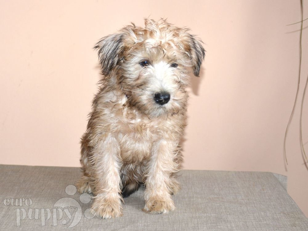 soft coated wheaten terrier for sale ladybug soft coated wheaten terrier puppy for sale 1263
