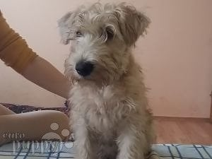 Soft Coated Wheaten Terrier For