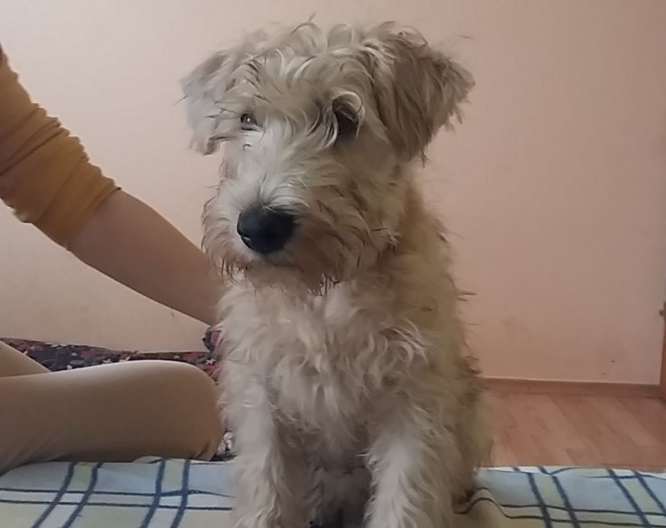 soft coated wheaten terrier for sale ladybug soft coated wheaten terrier puppy for sale 2331
