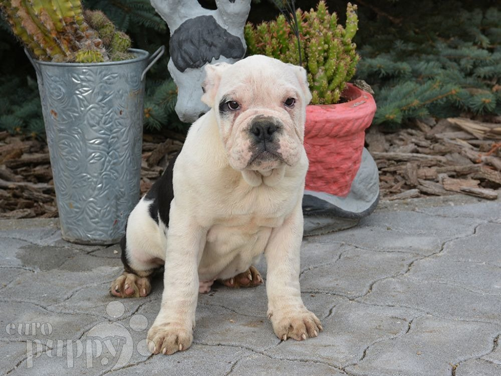 miniature bulldog puppies raptor miniature english bulldog puppy for sale euro puppy 3930