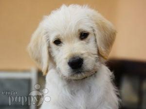 Labradoodle For Sale Labradoodle Puppies
