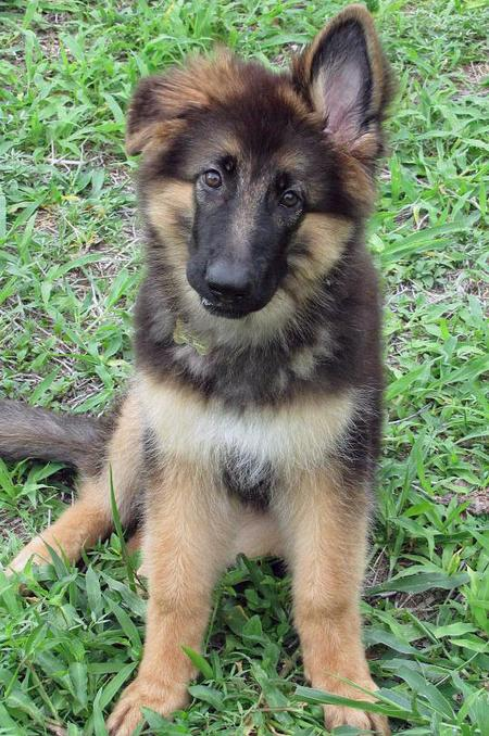 Best Dog Food For Gsd Puppy