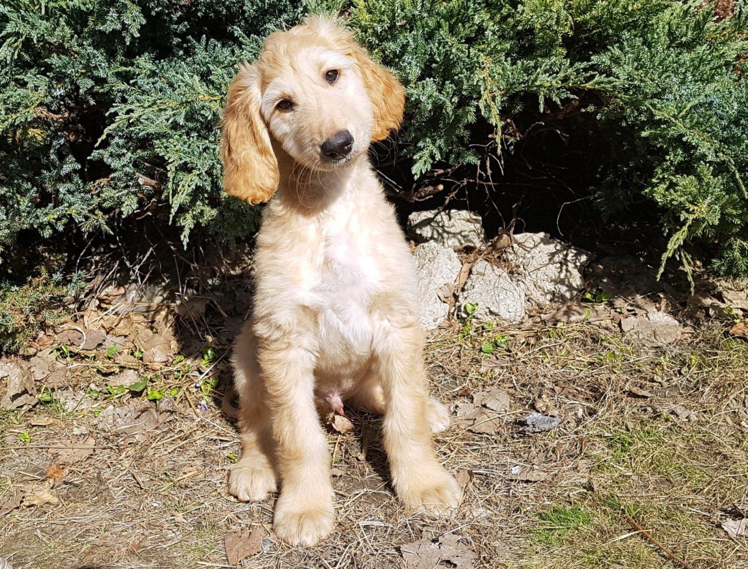 Ynwa - Afghan Hound Puppy for sale   Euro Puppy