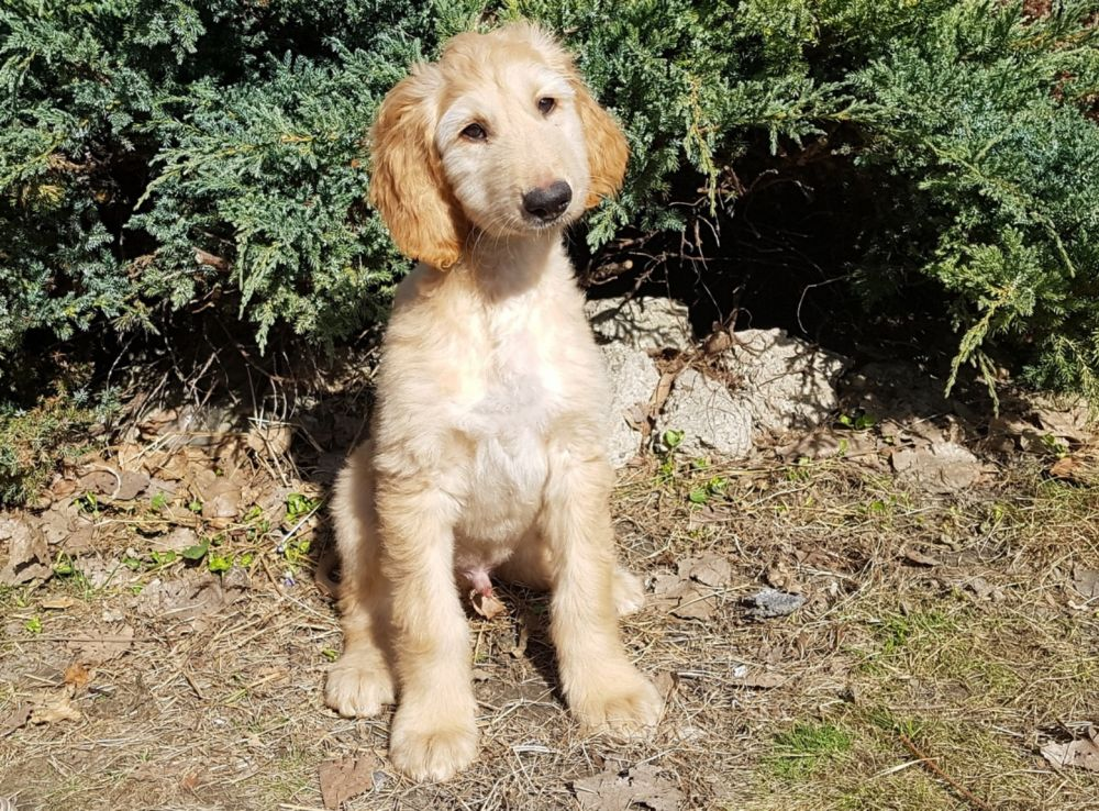 Ynwa  Afghan Hound Puppy for sale  Euro Puppy
