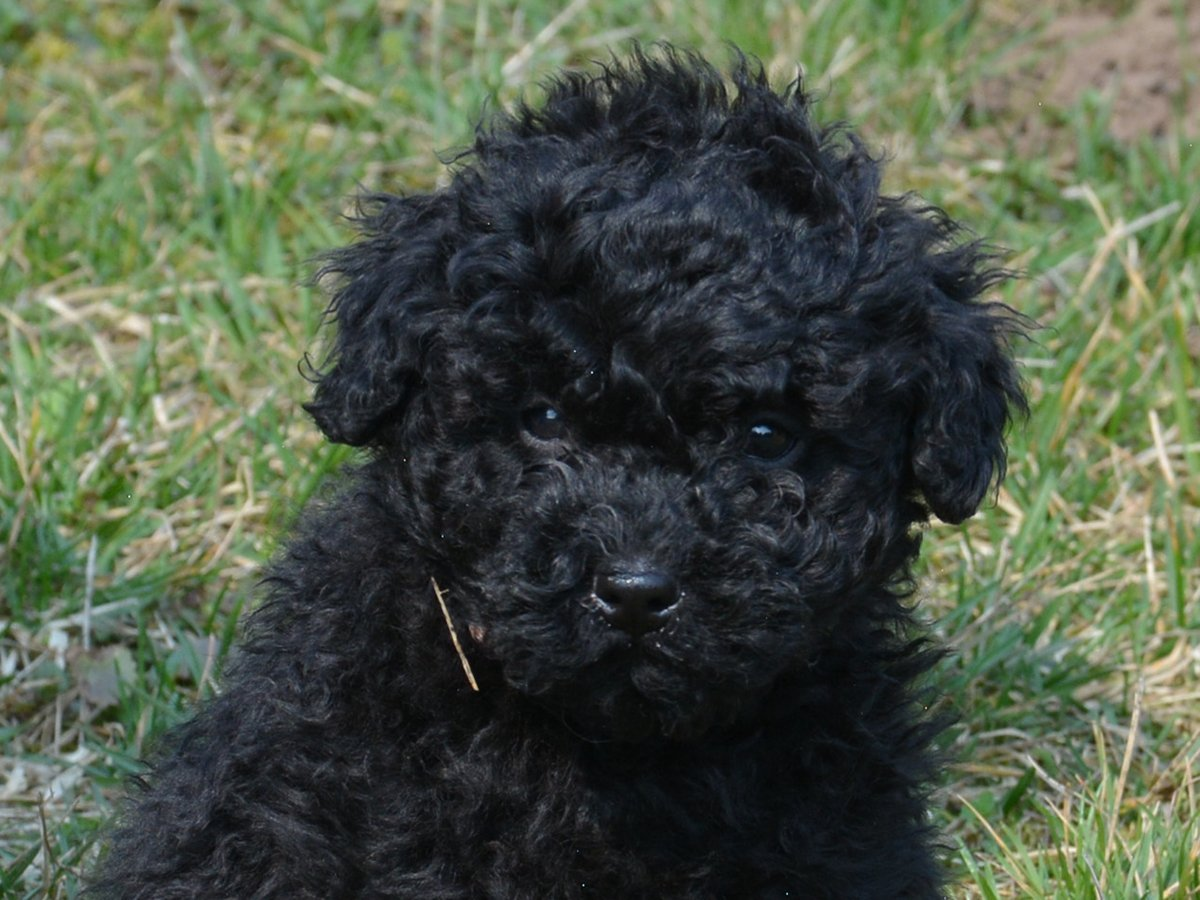 Boing Puli Puppy For Sale Euro Puppy