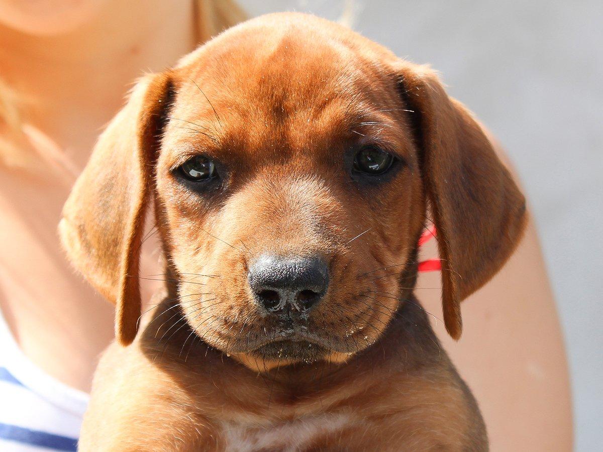 Dog Breeds Similar To Rhodesian Ridgeback