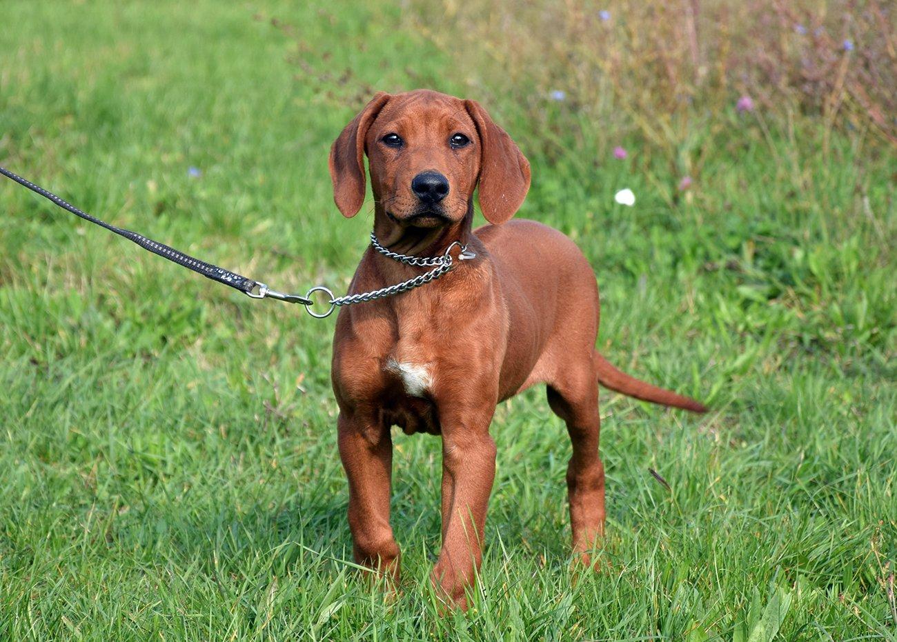 Dog Breed Info Rhodesian Ridgeback