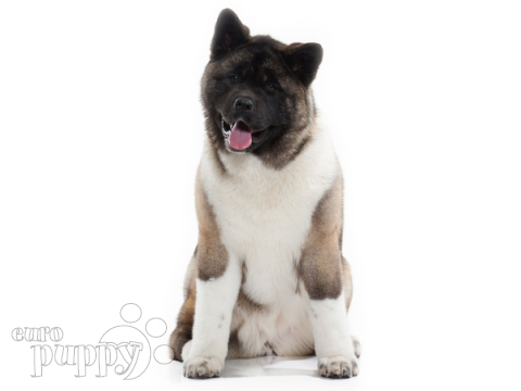 American Akita Puppies Breed Information Puppies For Sale