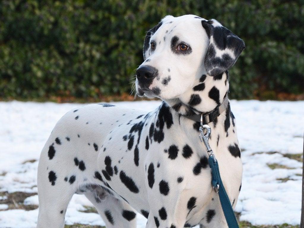 Jack Dalmatian Puppy For Sale Euro Puppy