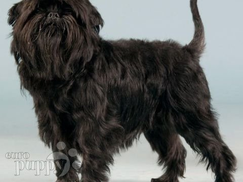 Affenpinscher Puppies Breed Information Puppies For Sale