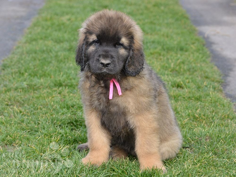 Leonberger dog health and longevity | Pets4Homes |Leonberger Dogs And Puppies