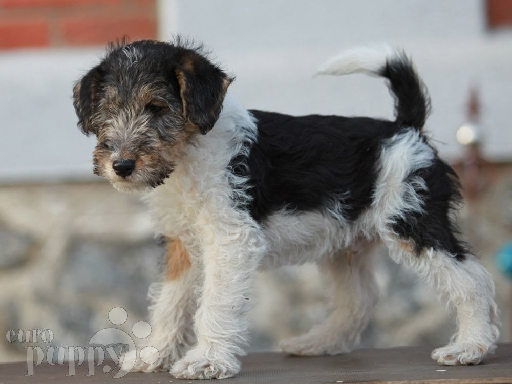 Nippon - Fox Terrier Puppy for sale   Euro Puppy