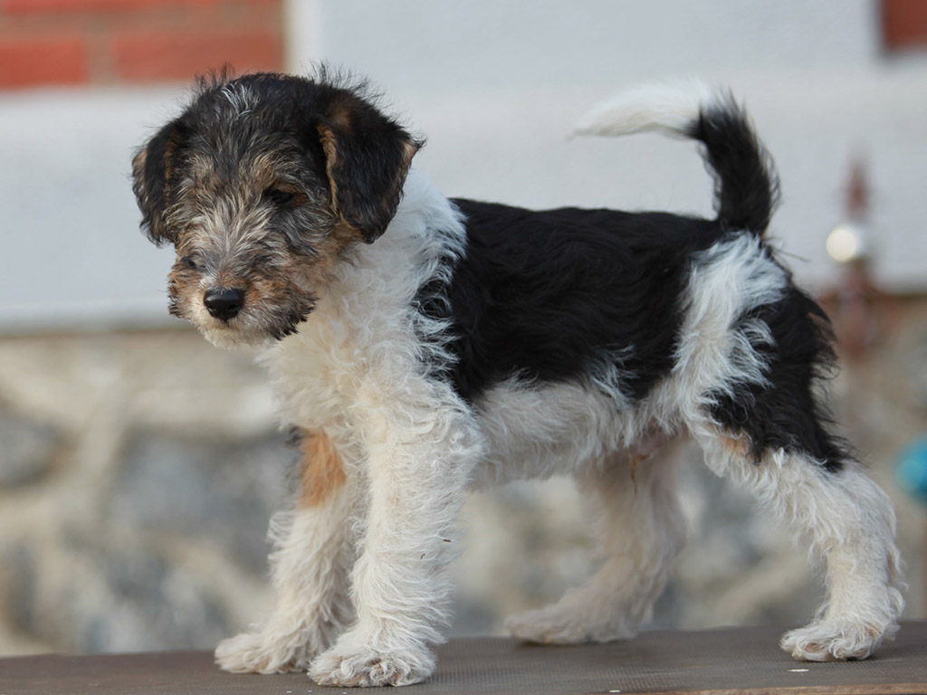 Nippon - Fox Terrier Puppy for sale | Euro Puppy